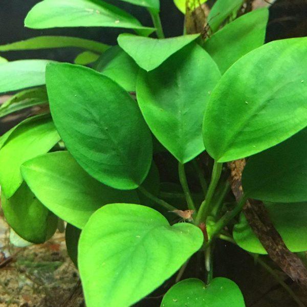 рослина Анубiас Нана купити київ україна
