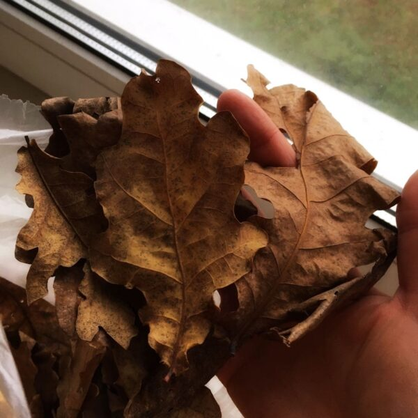 листя дуба купити київ україна